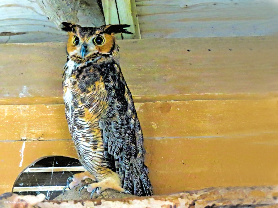 great-horned owl 2 SCBS