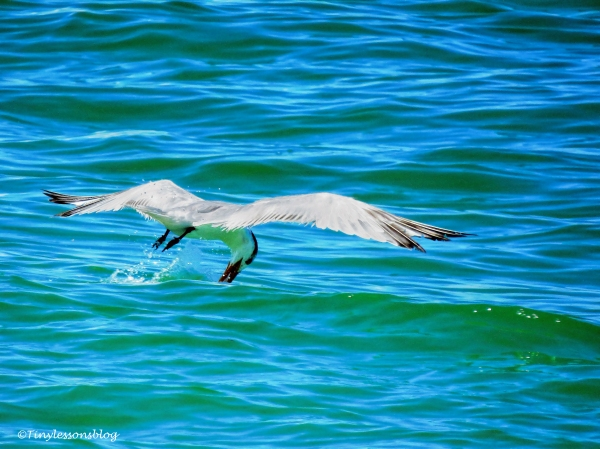 gull eating on the fly sand key clearwater florida