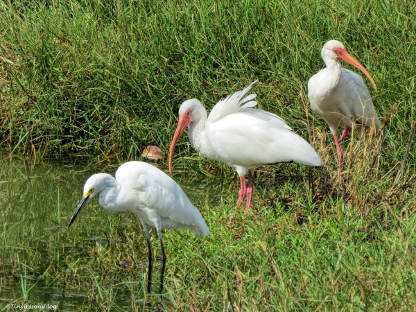 ibis and snowy egret hunting sand key park clearwater florida