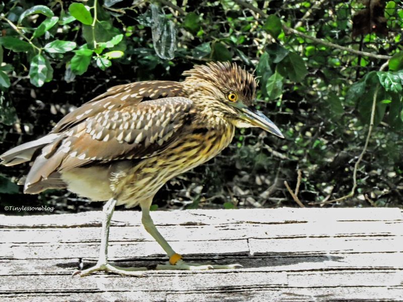 juvenile blackcrowned night heron