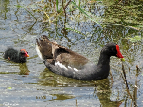 mama moorhen and one chick ud24