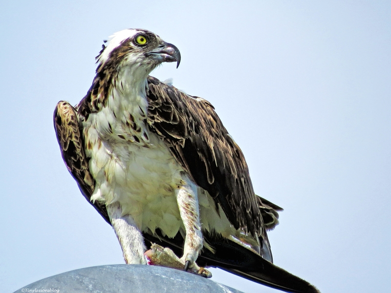 Female Osprey Sand Key Clearwater Florida