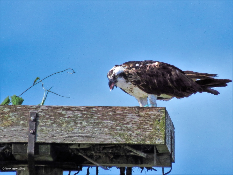 mama osprey eats breakfast ud24