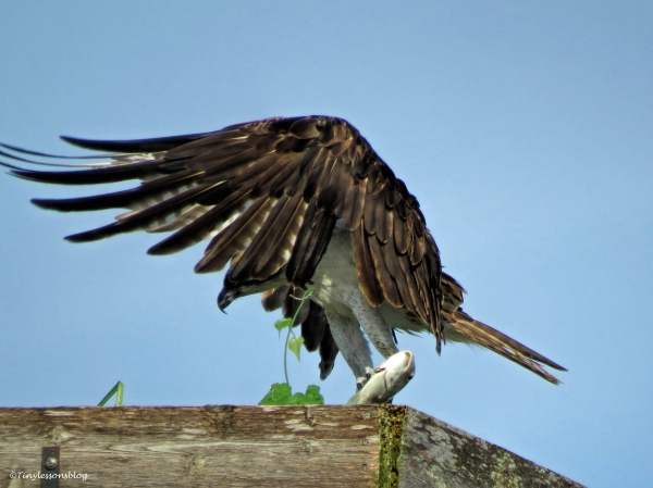 mama osprey lands with a fish ud24