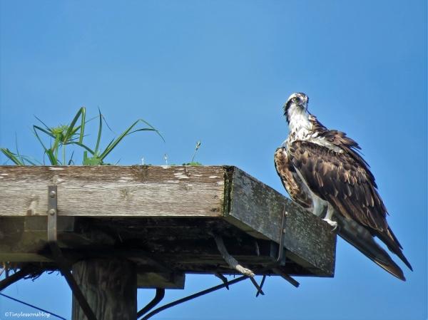 mama osprey proud gardener ud25 b
