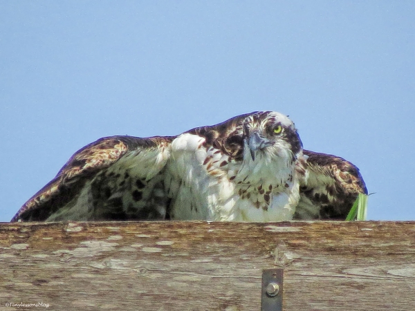 mama osprey sees something ud24