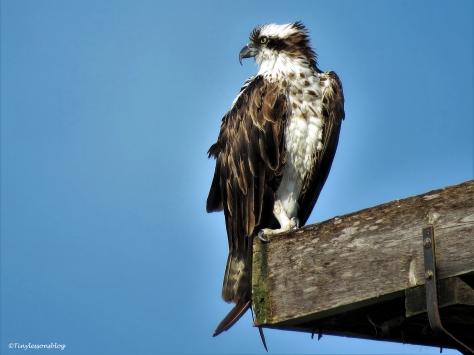 mama osprey wet ut with no fish ud24