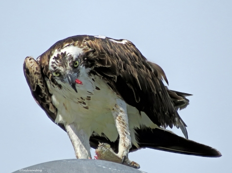 Female Osprey Sand Key Clearwater Florida