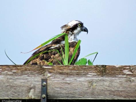 female osprey babysitting the decorated nest.
