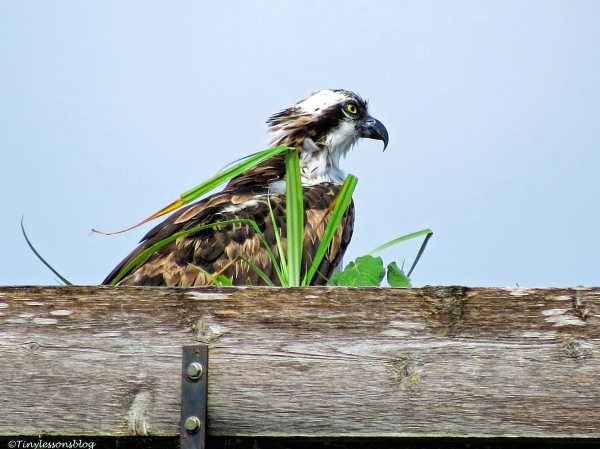 female osprey babysitting the decorated nest.