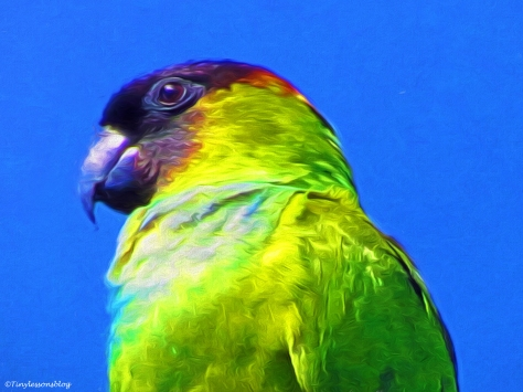 nanday parakeet portrait paint