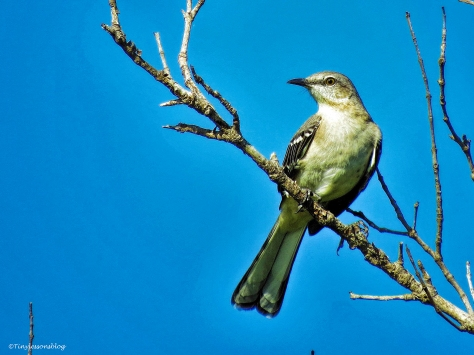 northern mockingbird 3 ud25 b