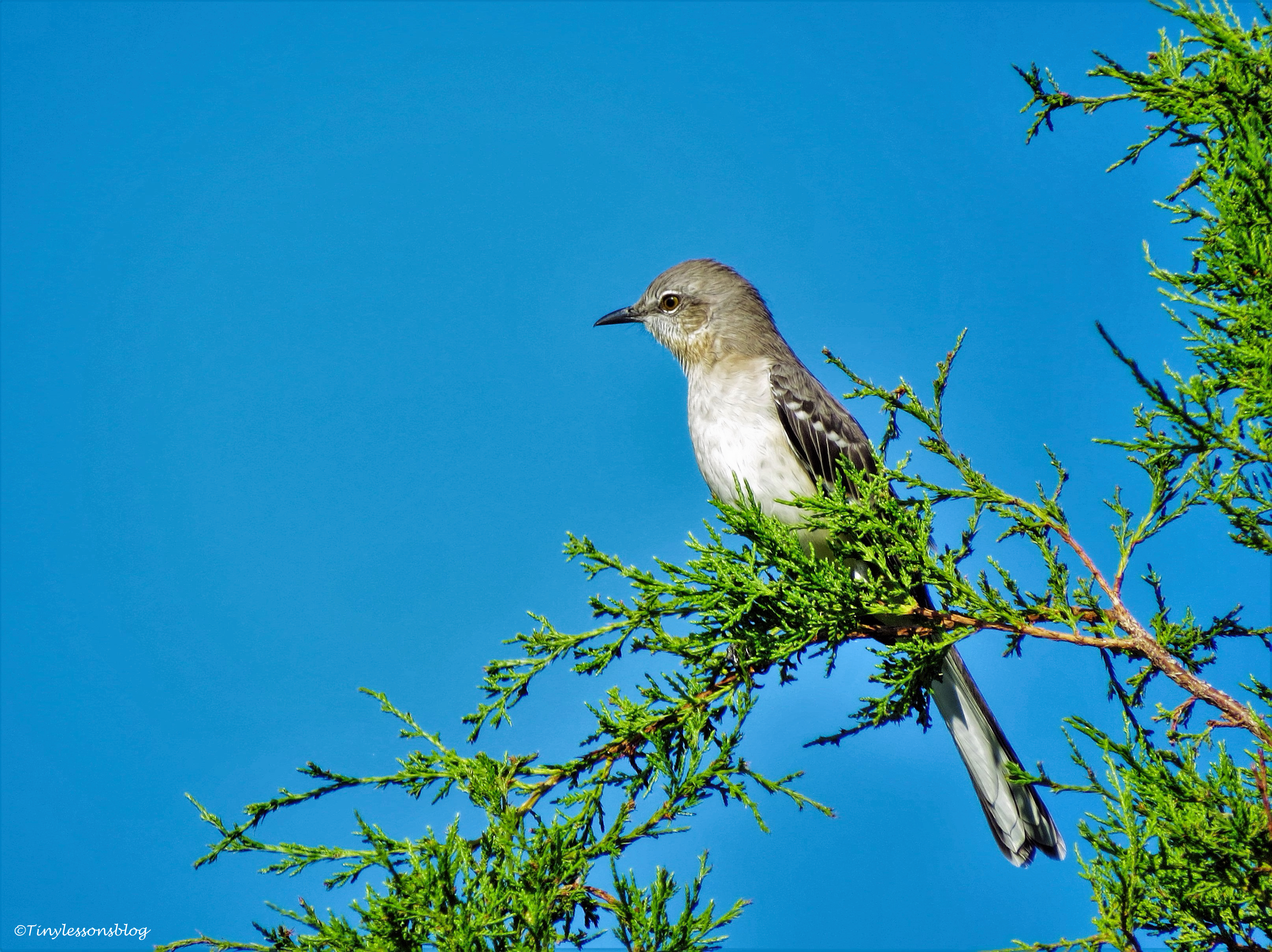 northern mockingbird sand key park clearwater florida