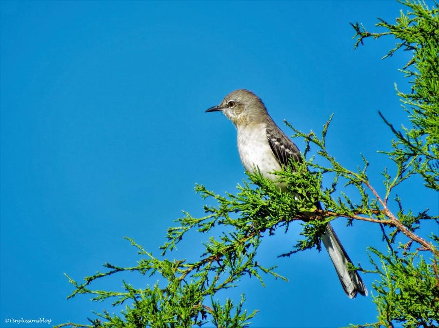 northern mockingbird sand key park clearwater florida