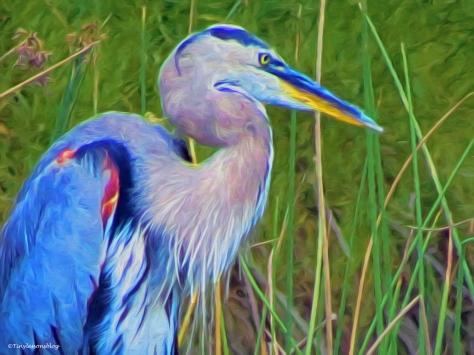 older great blue heron paint