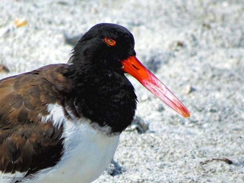 oystercatcher sand key clearwater florida