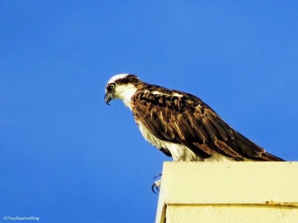 papa osprey at sunrise B ud24