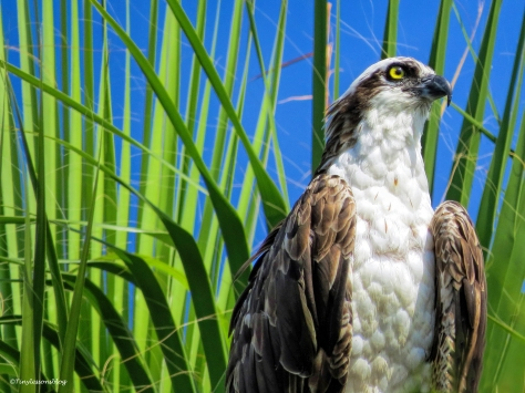 male osprey sand key park clearwater florida