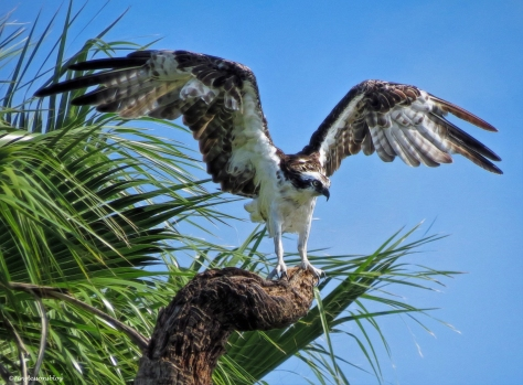 papa osprey lands at his resort ud25 b