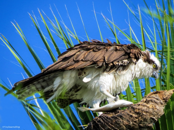 male osprey caught a fish sand key park clearwater florida
