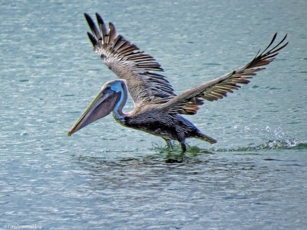 brown pelican takes off clearwater florida