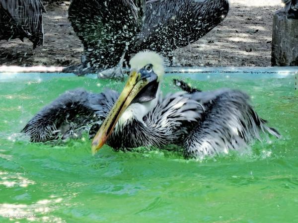 pelican bath SCBS G