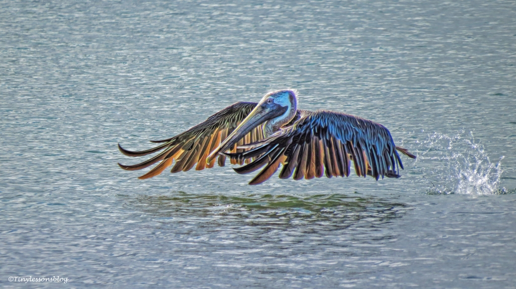 pelican taking off 5 ud25