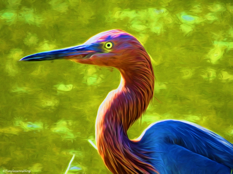 portrait of a reddish egret paint