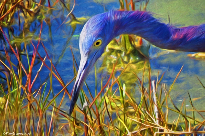 portrait of little blue heron3 paint
