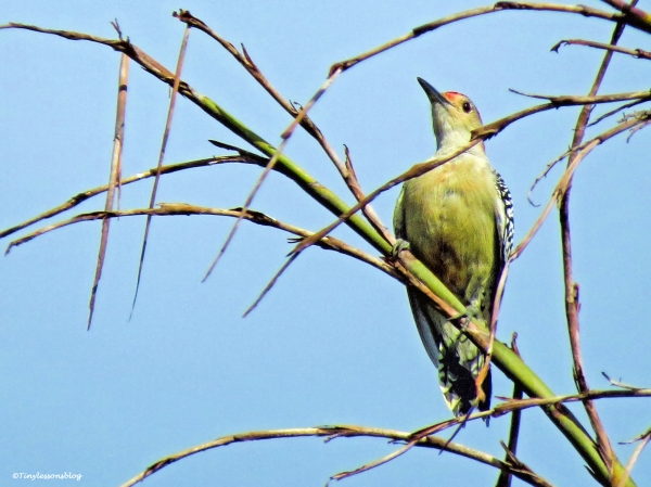 redbellied woodpecker 2 ud25 b
