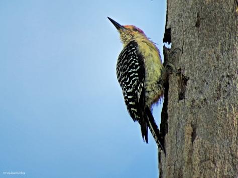 redbellied woodpecker Sand Key Clearwater Florida