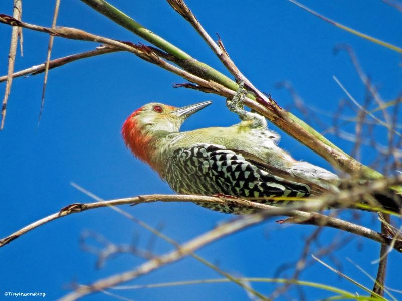 redbellied woodpecker ud25 b