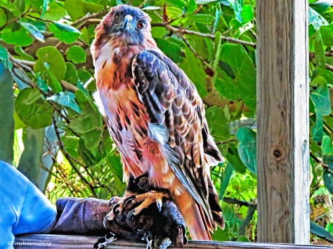 red-shouldered hawk on outing scbs