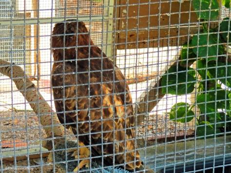 Red-shouldered hawk scbs