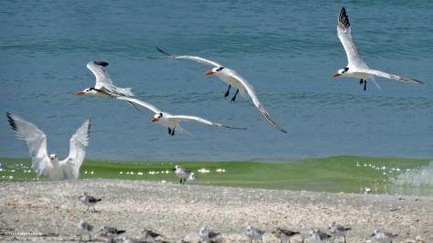 royal terns return home ud24