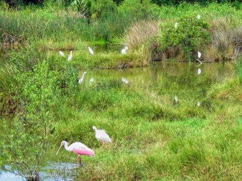salt marsh birds ud25 b