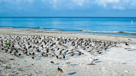 sanderlings and dunlins on the beach ud24
