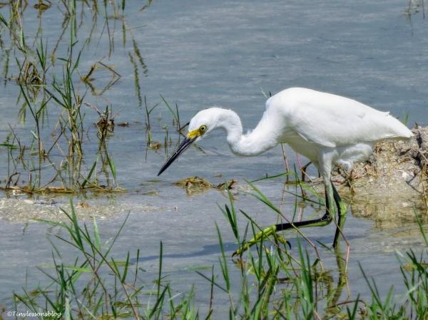 snowy egret ud24