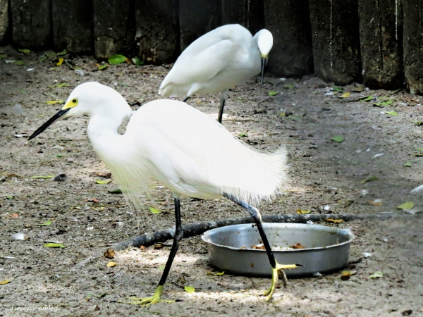 snowy egrets SCBS