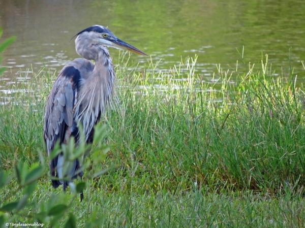 the older great blue heron ud24