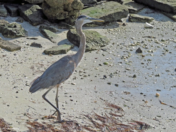 the young blue heron ud24
