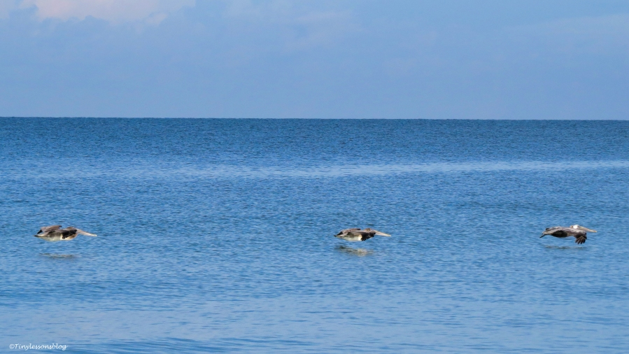 theee pelicans ud24