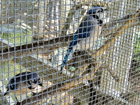 two blue jays scbs