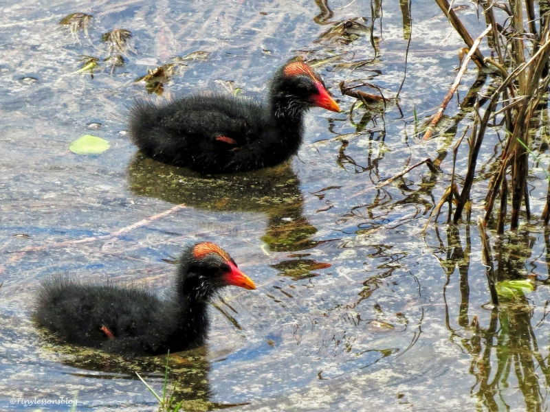 two moorhen chicks ud24