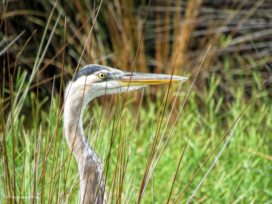 young great blue heron Sand Key Clearwater Florida