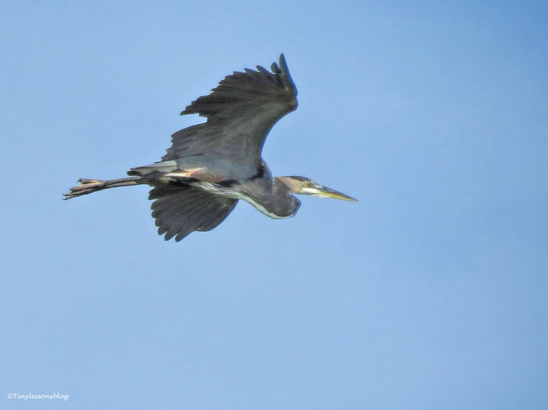 young blue heron in flight ud24