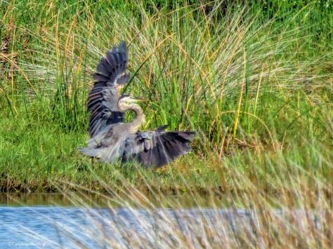 young blue heron lands ud24