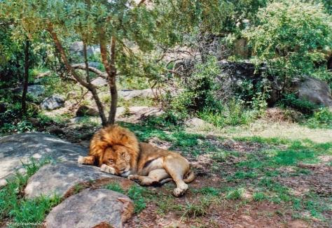A male lion ZIMBABWE
