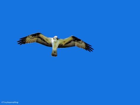 female osprey in flight Sand Key Park Clearwater Florida