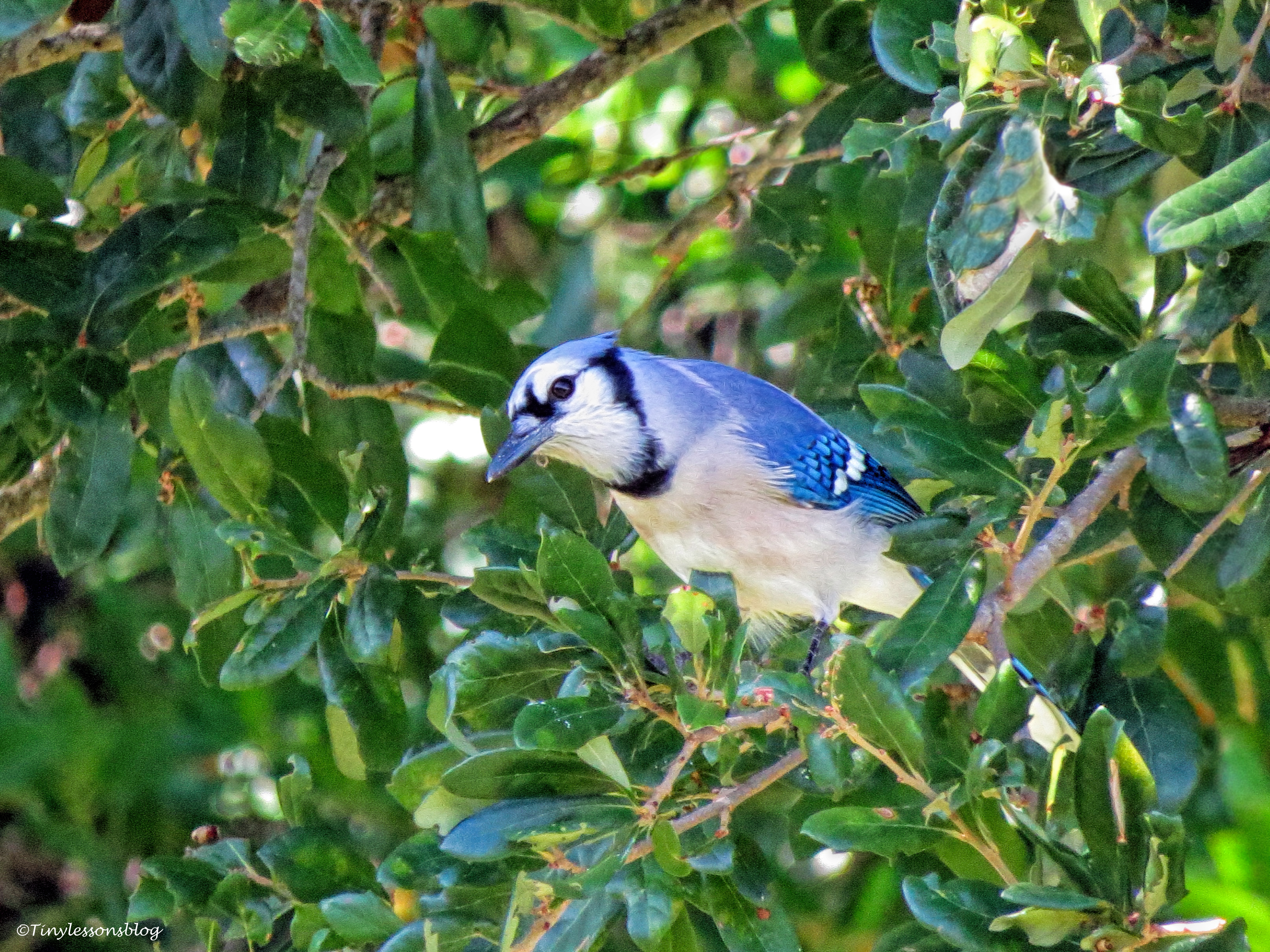 Blue Jay ud26